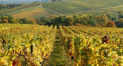 Sancerre's famous vineyards
