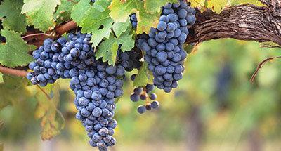 Vineyard in Aquitaine