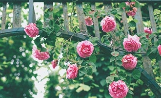 Roses hanging from trellis